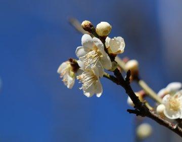【千葉・成田】そうだ!春を探しにいこう!成田山新勝寺梅まつり♪