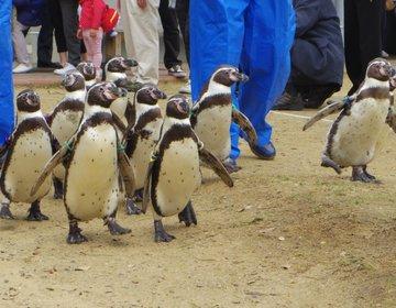 定番長崎観光に飽きたら「ペンギンの散歩」も見られる、飼育種類世界一【長崎ペンギン水族館】はどう?