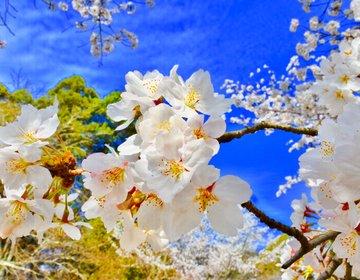 【春の京都へ行こう】美しい満開の桜を求めて東西線で行く春の京都花見旅
