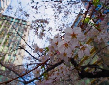 東京駅にも桜があった!その名も『さくら通り』東京駅八重洲口【東京・お花見・さくら通り・日本橋】