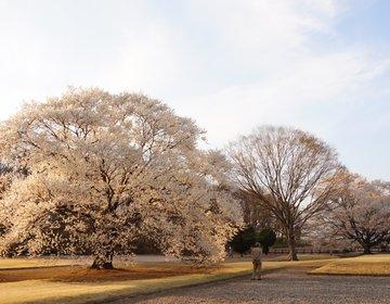 淡墨桜で春を先取り!関東栃木県の穴場桜スポット「天平の丘公園」に出かけよう!