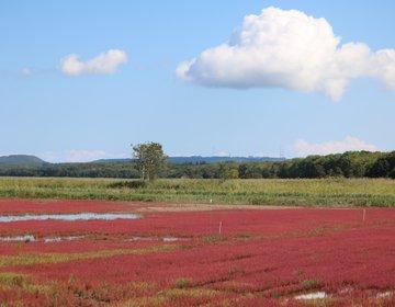【網走】9月の能取湖でサンゴ草の真っ赤なじゅうたんを鑑賞♪ランチはサロマ湖産ホタテを堪能☆