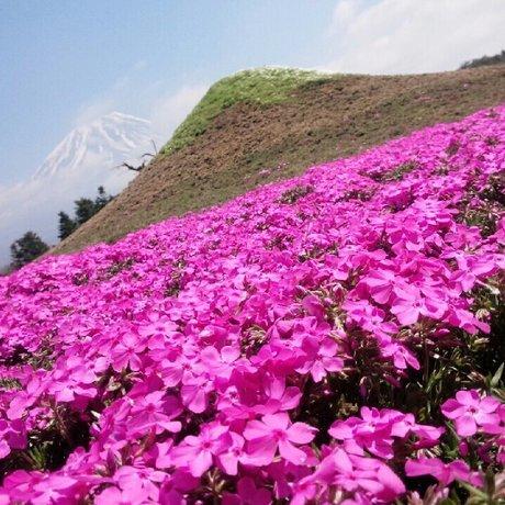 富士芝桜まつり会場