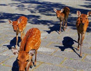 奈良県のおすすめ観光スポット2選「世界遺産・法隆寺」「元気なシカたち・奈良公園」