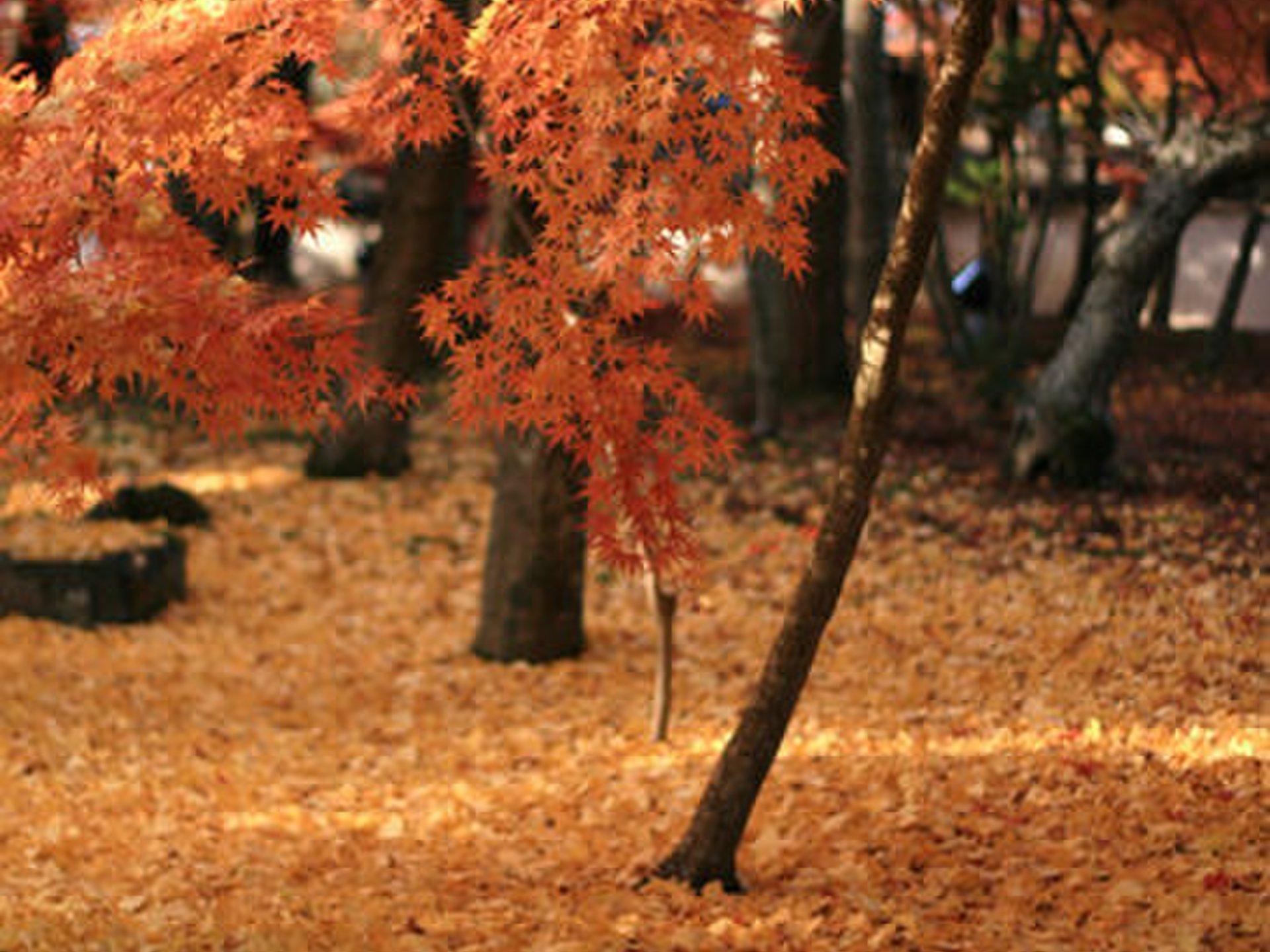 【京都へ紅葉めぐり旅行】哲学の道~白川~祇園 定番から穴場まで!おすすめスポット
