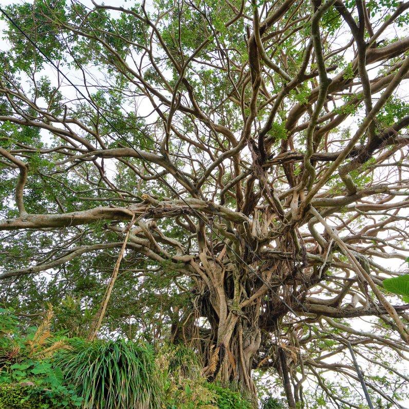 樹齢300年ガジュマルと石垣