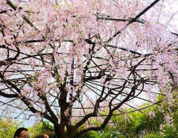 【そうだ、京都いこう】舞台となった頭上で豪快に咲く紅しだれ桜は京都の定番お花見スポット!