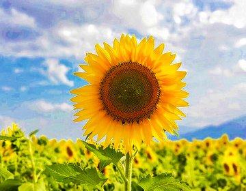東京から行ける最強のひまわり畑を発見。8月いっぱいまで満開という最高な場所です。明野ひまわり畑