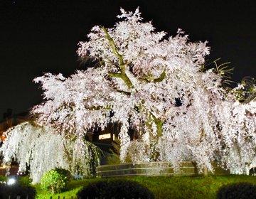 【絶対に満開を楽しみたい】春の京都で夜に鑑賞したい2つの有名な枝垂れ桜