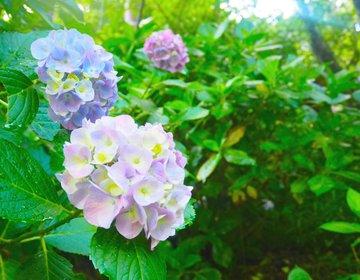 【鎌倉・あじさい巡りデート】6月の鎌倉はキレイすぎ!最後は江ノ島の夕日でシメ♡