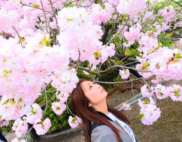 「360度桜に囲まれる幻想的な体験を」京都のお花見は5万本の樹木が四季を奏でる京都御苑へ行こう!