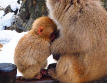 【秋冬にオススメ】猿が温泉に!?「地獄谷野猿公苑」ではそんな光景が見られるぞ!!