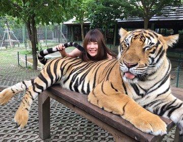 危険度MAX!タイのプーケットでトラと触れ合える「タイガーキングダム」で非日常体験♡