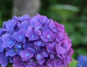 【茨城・潮来】東京ドーム1個分の広さに1万株の紫陽花が咲き乱れます!これからが見頃の「二本松寺」