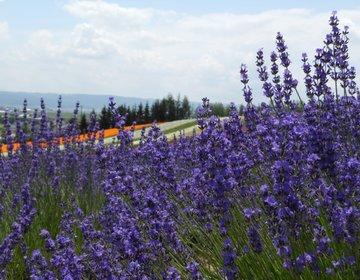 【夏の富良野を満喫!】最大の見頃は7月!ラベンダーが咲き誇る富良野のスポットをご紹介!