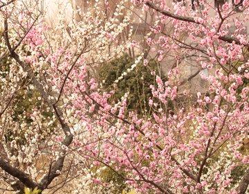 【梅散歩】東京で梅を楽しみたいならここ!梅の名所、羽根木公園で春の訪れを楽しみたい