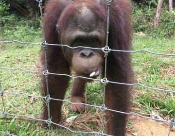 【マレーシア在住が教える】ここにしかない出会い…希少動物の生態を知ろう「ブキメラ・オランウータン島」
