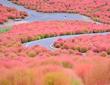 夏が終わる前に秋の準備支度。茨城県のひたち海浜公園のコキアの紅葉と筑波山登山を楽しむ観光プラン!