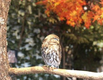 室内で紅葉を見ながらフクロウ⁈鎌倉散策で立ち寄りたいおすすめスポット