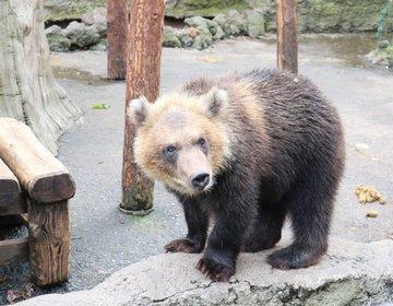近すぎる小熊がかわいい♡ヒトのオリで大人の熊と強烈体験☆のぼりべつクマ牧場