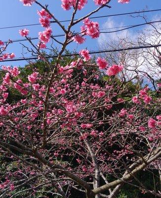 八重岳・桜の森公園