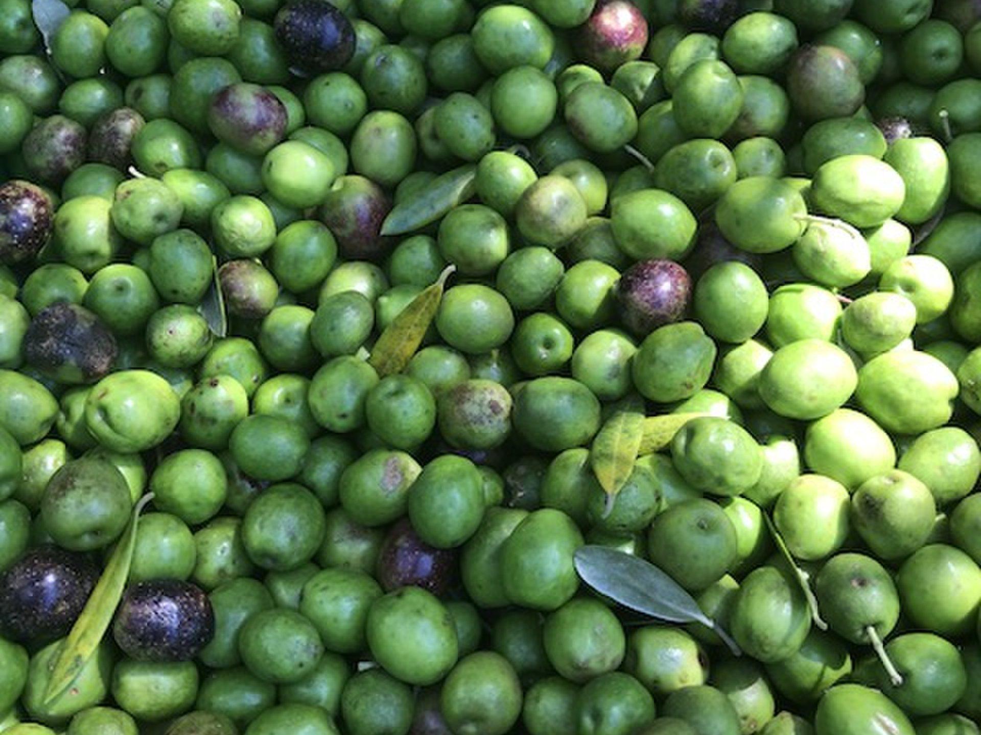 天草でオリーブ収穫!?アウトドア好きのためのちょっと変わった秋の天草の楽しみ方
