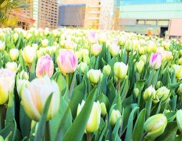 【梅田・冬デート】大阪駅の目の前!一面に広がる2万本のチューリップ畑で一足早い春を感じよう♡