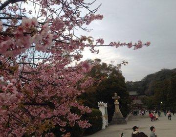 【お花見小旅行】古都鎌倉神社と名物しらす丼を味わうコース!
