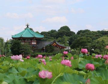 夏は早起きして上野に行こう♪都会のオアシス「不忍池の蓮」は7月から8月が見頃!
