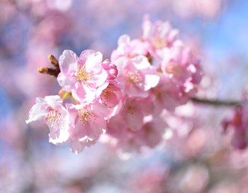 【静岡・伊豆河津桜まつり】寒いのに春の桜。そんな不思議空間を旅してみませんか?