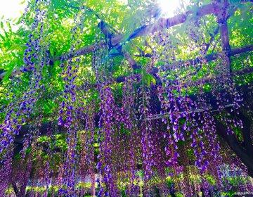 【春に行きたい江東区】亀戸天神社藤祭りから東京現代美術館を巡る江東区春散歩