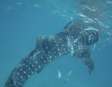 【セブ島】ジンベイザメといっしょに泳げちゃう貴重な体験をしよう!