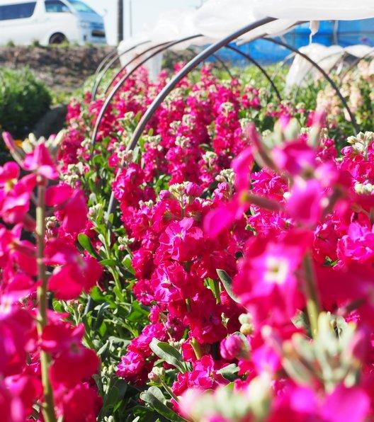 千田の花畑