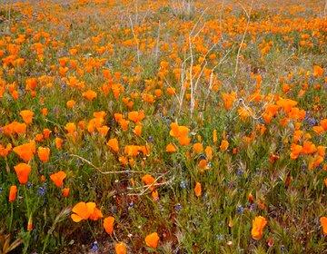 アンテロープバレーアウトドア旅。オレンジの可愛いお花ポピーが咲き乱れる絶景スポット!