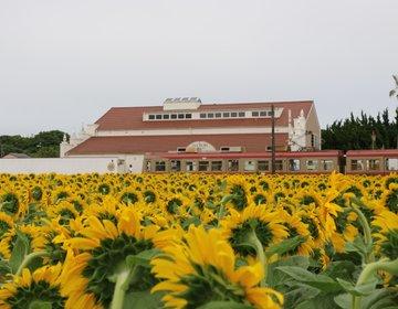 夏だ!そうだ!ひまわりを見に行こう♪銚子電鉄とひまわり畑♡のコラボはこれからが見頃です♪