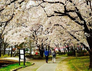 【今年の春はどこで花見?】長野市にある八幡原史跡公園の美しい桜巡り!