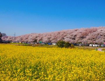 【桜×菜の花】関東最強の桜の名所!埼玉県幸手市の権現堂桜堤が絶景すぎ