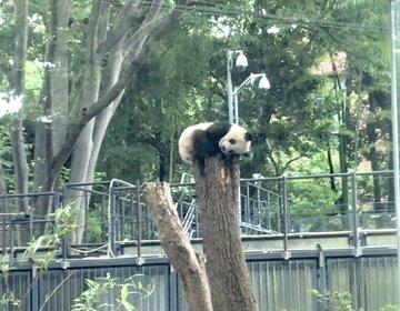 シャンシャンの観覧方法が変わる前に!早く行ったら必ず見られます。上野動物園へ