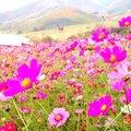 俵山コスモス園