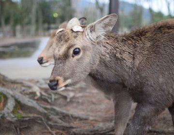 【都会の喧騒に疲れたあなたへ】ドッタンバッタン大騒ぎ!鹿に癒される♡弾丸奈良旅