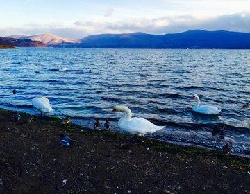 【自然好きな人必見な白鳥の湖】真冬の山中湖で楽しむバードウォッチングデート!