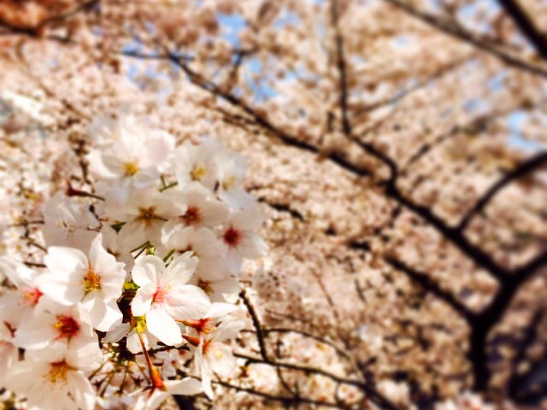 桜満開!六本木のアーク森ビル周辺でお花見しましょう♡