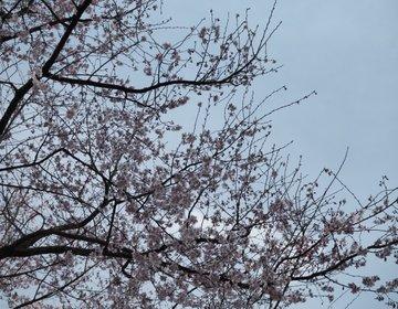 【神奈川・厚木】神奈川の桜の名所!約3000本の桜がお出迎え!あつぎ飯山桜まつりに行ってみよう♪