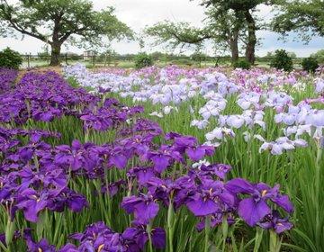 【新潟・水原/阿賀野】約50万本のあやめが咲く瓢湖×しょこら亭でランチとスイーツ!女子旅におすすめ