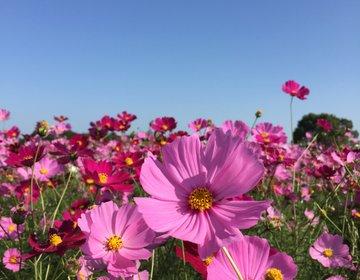 今行くべき、ピンクの花畑♡