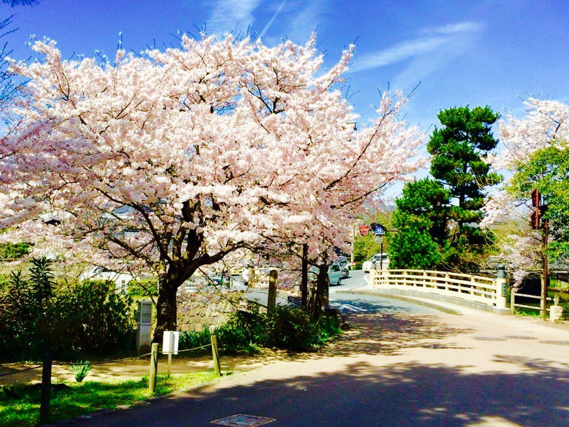 【島根県で楽しむ花見】現存天守閣松江城の桜を楽しんだ後は宍道湖沿いの大はかやのうなぎ!