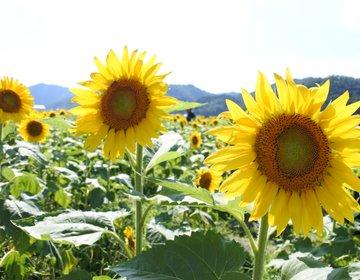[兵庫県佐用町ひまわり畑]神戸市から車で1時間半一面にひろがるひまわり畑を見に行こう!