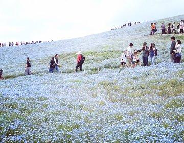 人生で一度は見ておきたい!日本の絶景「ネモフィラ畑」でお散歩デート