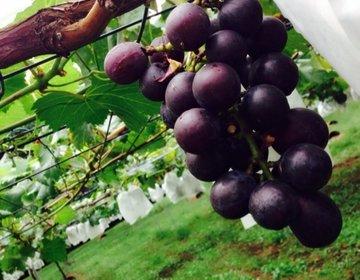 秋は味覚狩り!茨城の「桜井ぶどう園」でジューシーなぶどうを食べよう!デートや家族連れにおすすめ