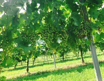 試飲あり!長野県塩尻市のサンサンワイナリーでワイン工場&ブドウ畑見学!